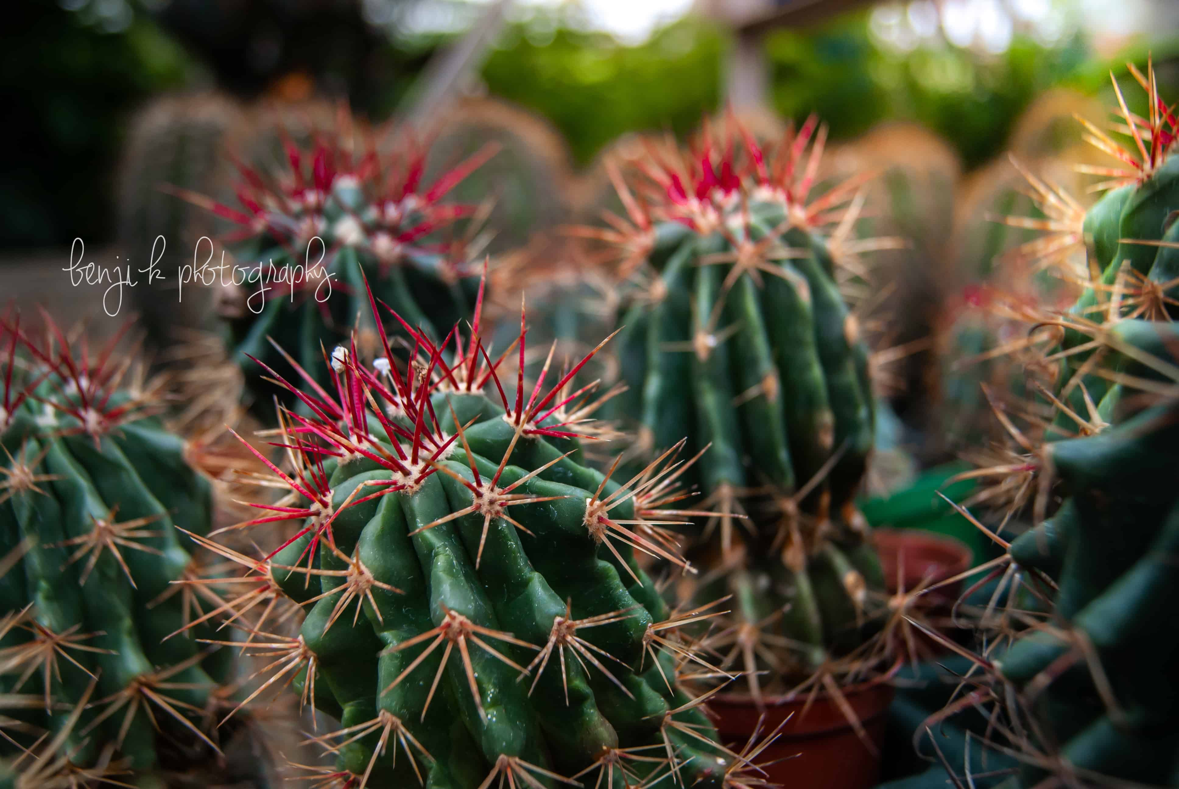 studley's grower's choice cacti growing in greenhouse